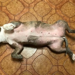 Same reviewer's dog after taking the allergy supplements, which calmed the dog's skin and made it less red