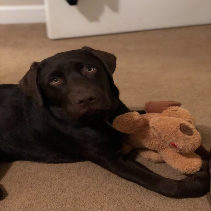 Same reviewer's photo of the puppy as an adult still playing with the toy