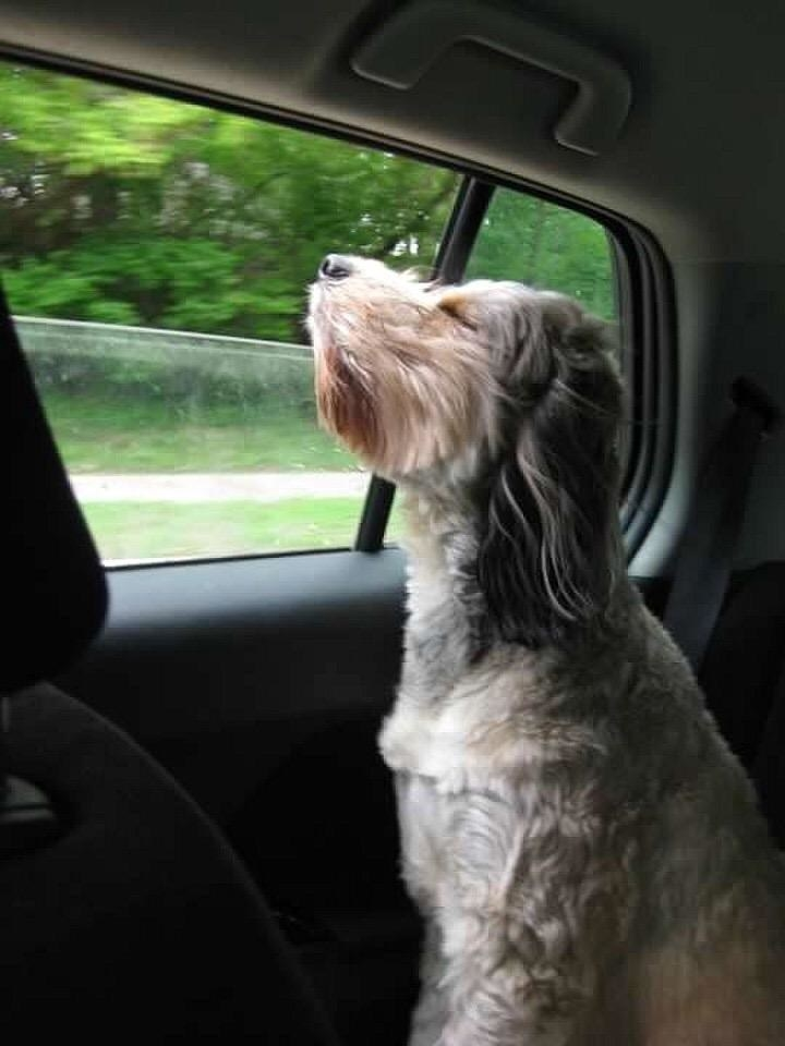 Reviewer photo of dog sticking its head out the car window