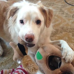 Dog playing with the toy