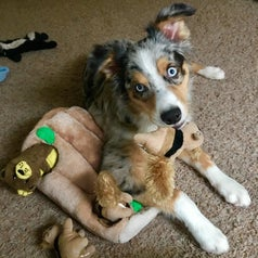 Australian shepherd playing with the toy