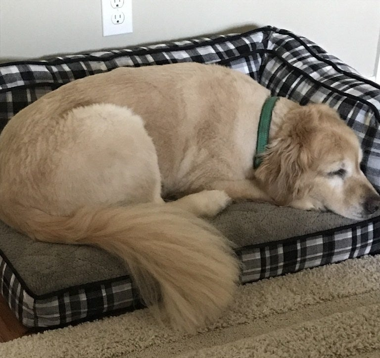 a golden retriever laying in the bed comfortably
