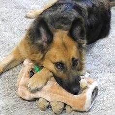 German shepherd resting its head on the toy