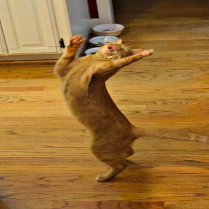 A cat on their back legs doing a goofy dance move trying to grab the toy