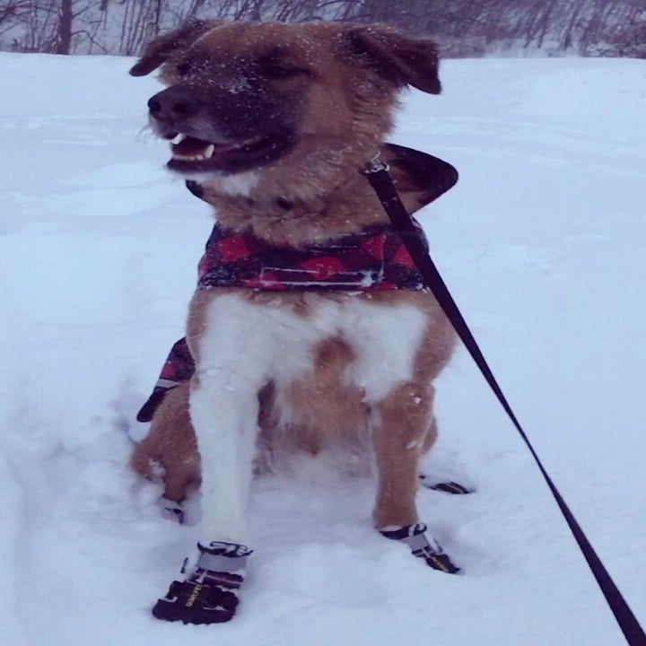 A dog wearing the shoes in the snow