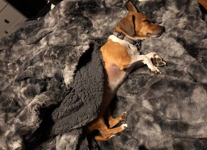 A reviewer's dog under the blanket, showing both sides