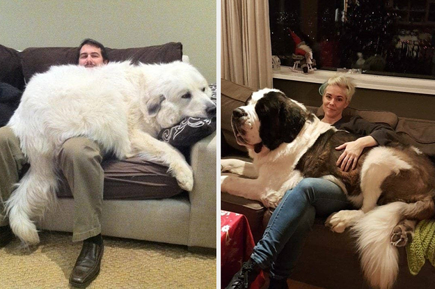 17 riesige Hunde, die sich offenbar für Welpen halten