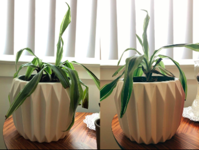 reviewer's pic of a house plant looking all droopy then it looking more alive with leaves up after using the plant spikes