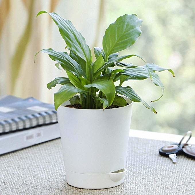 Plant in a white ceramic pot.