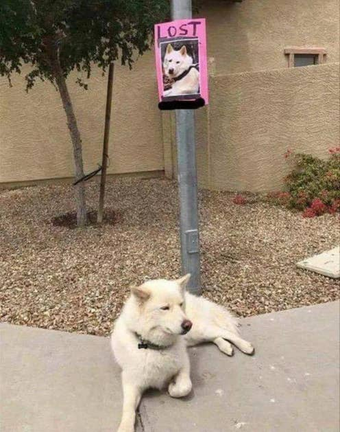 A lost dog sits under a post with his lost dog sign on it