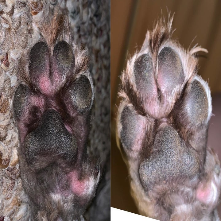 A dog's paw with bright pink irritation on the left and the paw looking less pink on the right