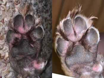 A customer review before and after photo showing the spray reduced inflammation on their dog's paw