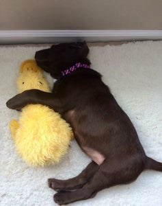 Reviewer photo of their puppy sleeping with the stuffed yellow duck
