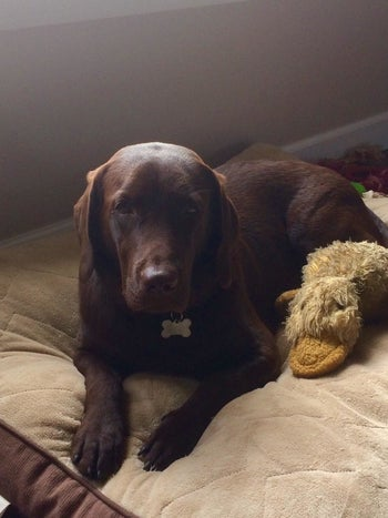 Same reviewer's dog, which is now a full-grown dog, sitting next to the duck showing how durable it is
