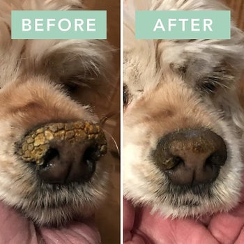 Before and after photo showing the balm took a dog's snout from crusty and dry to moisturized
