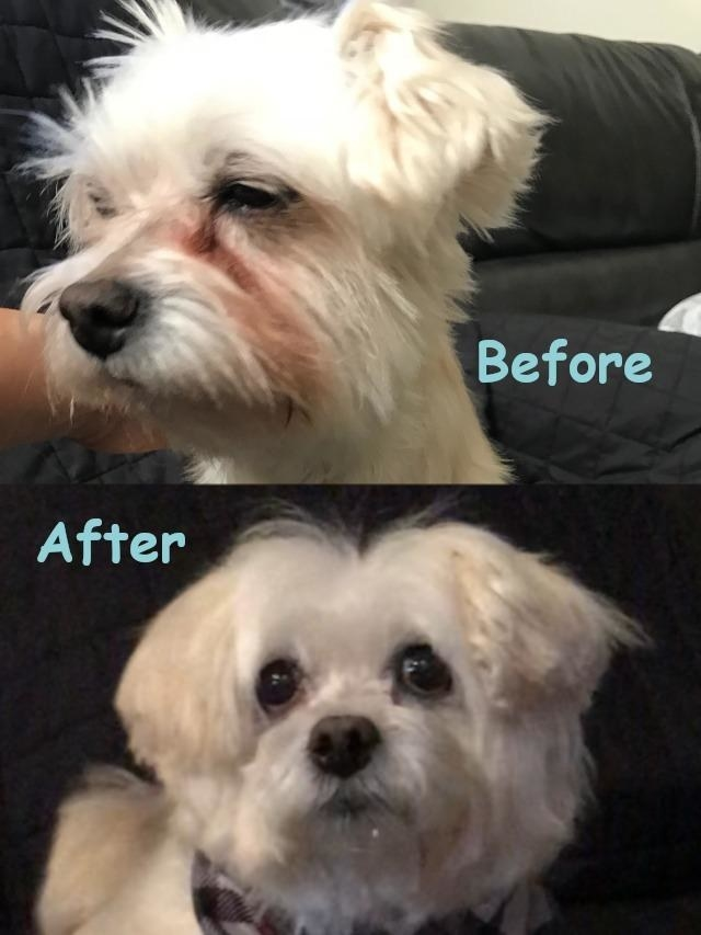 Reviewer's before and after photo showing the rinse got rid of their white dog's tear stains