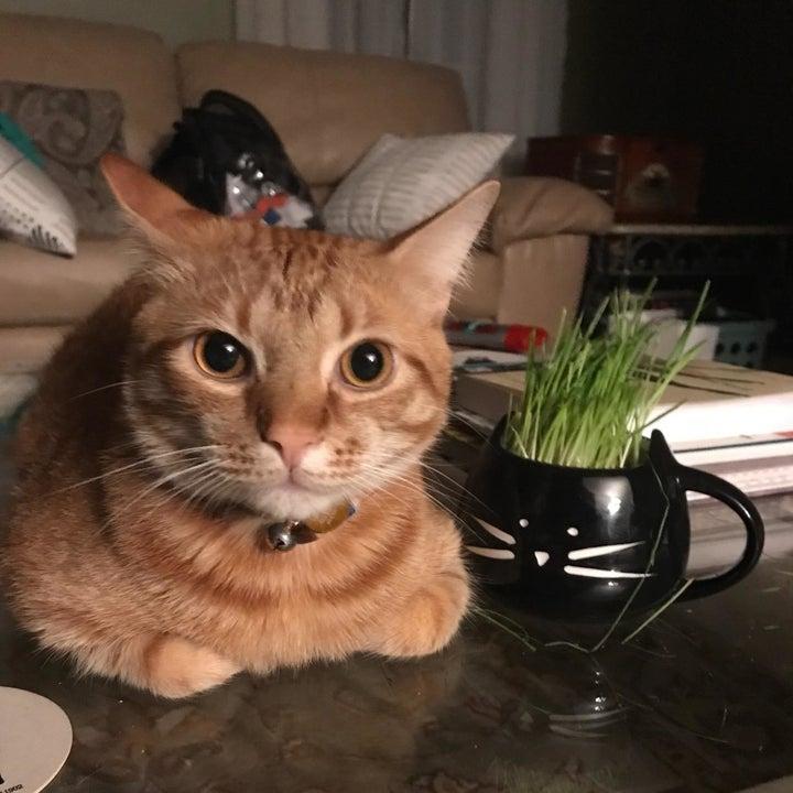 Orange tabby sitting next to black cat-shaped mug planter with cat grass growing inside it