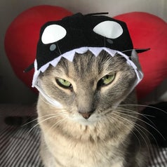 Cat wearing an orca hat