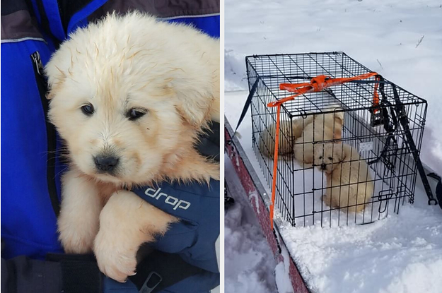 """A Couple Rescued Three """"Worn Out"""" Great Pyrenees Puppies They Found In The Wilderness And It's A Lot"""