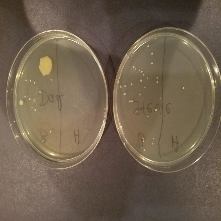 A reviewer showing petri dishes from a phone before and after sanitizing (with way fewer germ colonies after)
