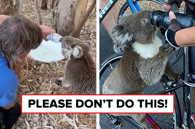 Please Don't Give Bushfire-Affected Koalas Water Out Of A Drink Bottle — It Could Kill Them