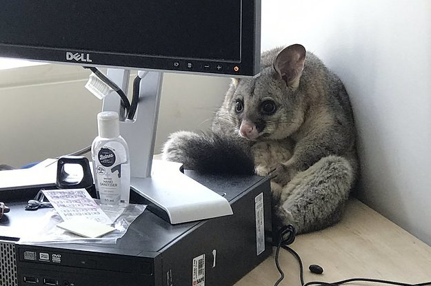 This Woman's Office Was Trashed By An Extremely Cute Possum And Honestly, It Looks Like It's Sorry