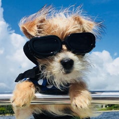 A dog with black glasses