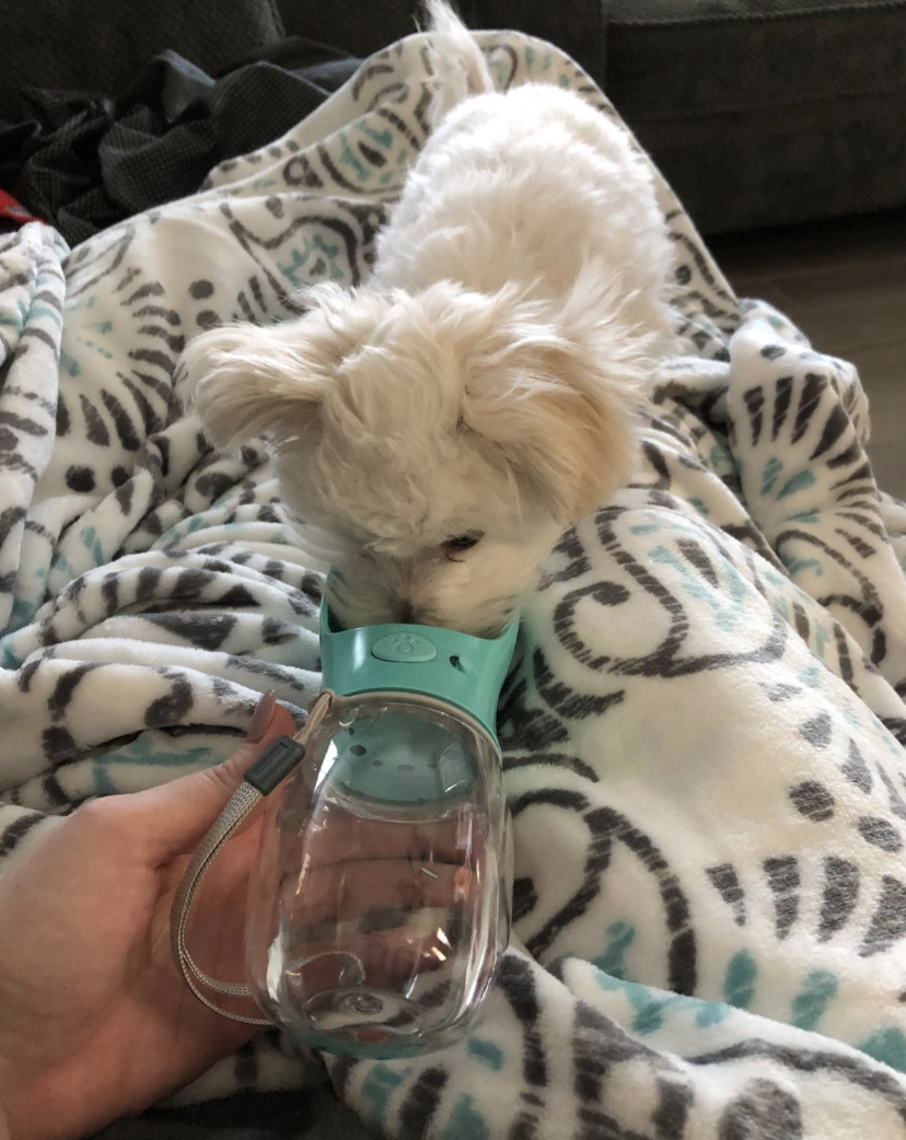 A little dog drinking from the water bottle