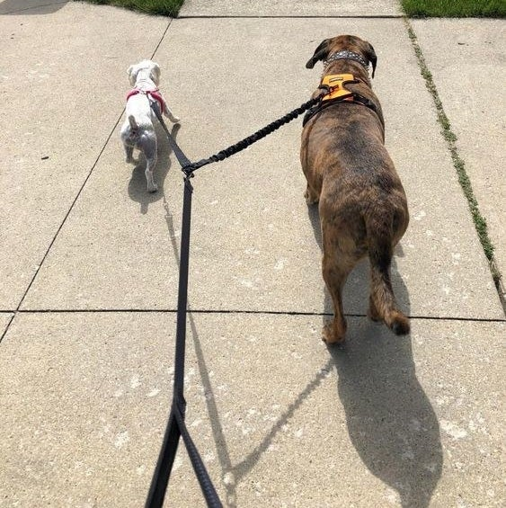 Reviewer's picture of two different-sized dogs being walked on the same leash