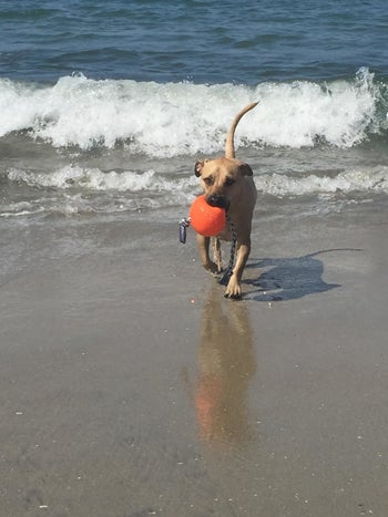 Reviewer's dog holding the ball in its mouth at the beach