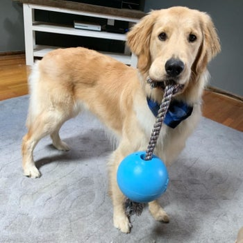 Reviewer's dog holding the toy, which is a rope attached to a ball, in its mouth