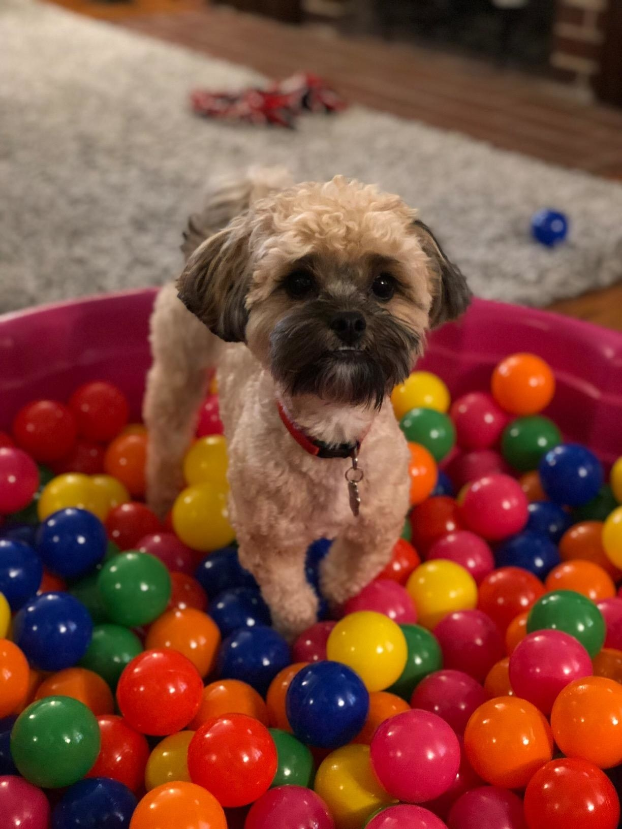 dog plays in ball pit