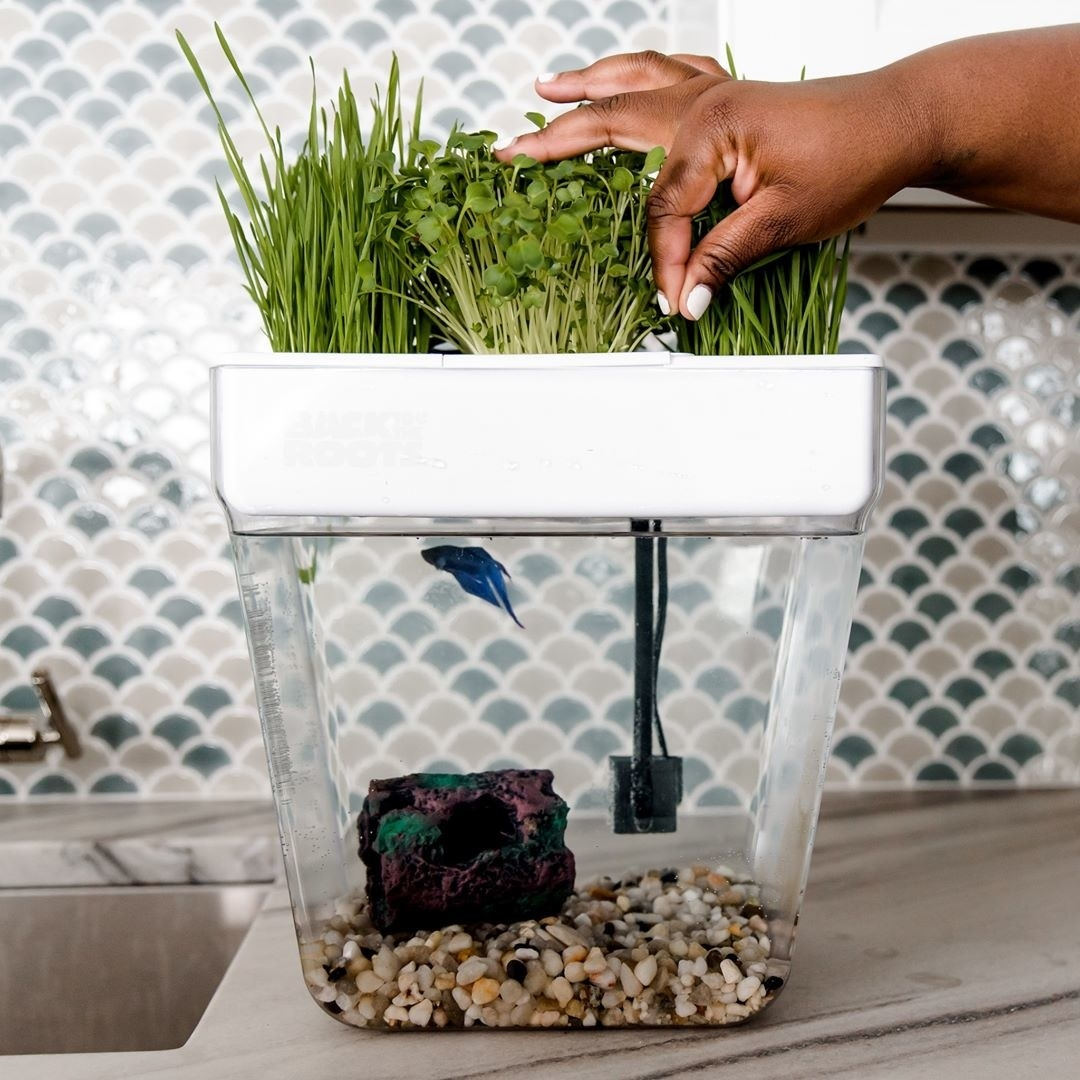 A person picking microgreens from the garden on top of the fish tank