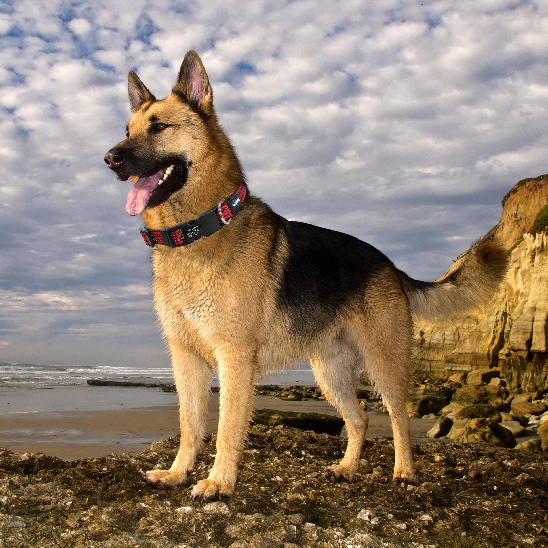 A dog wearing the collar