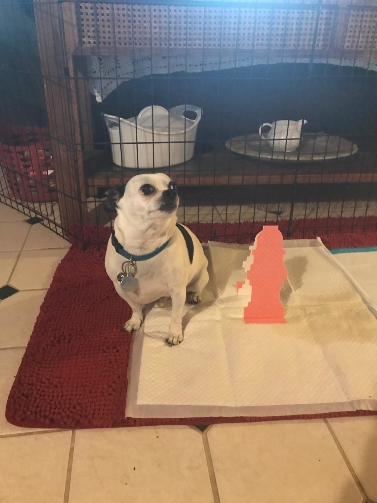dog poses with wee pad with pop up fire hydrant