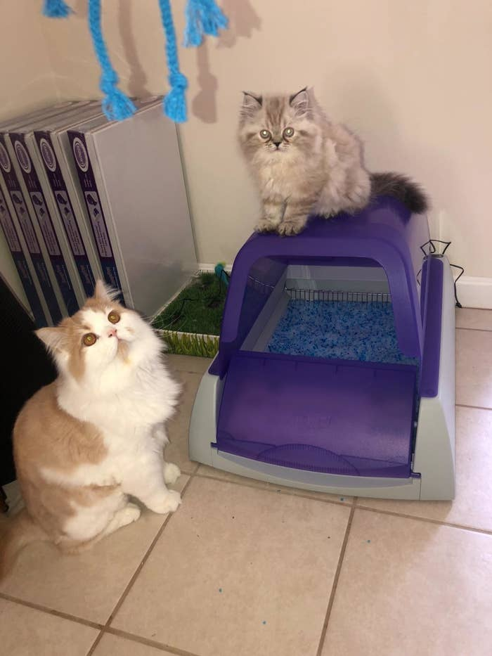 Reviewer photo of the purple domed litter box with two kittens