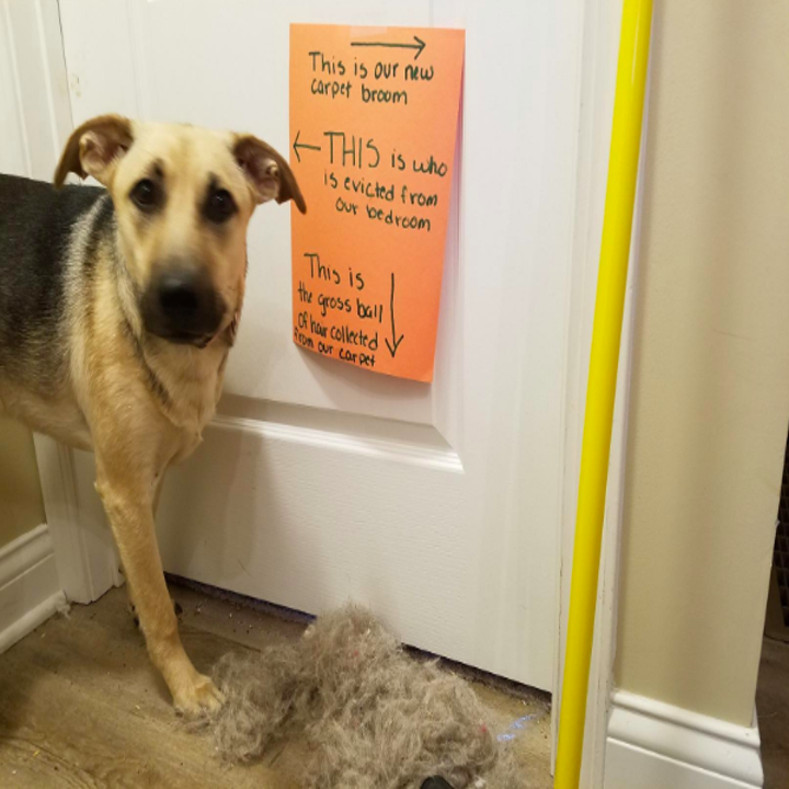 A dog, the broom, and a big pile of hair next to a sign explaining that the dog is no longer allowed in the bedroom and that the hair pile was collected from the carpet