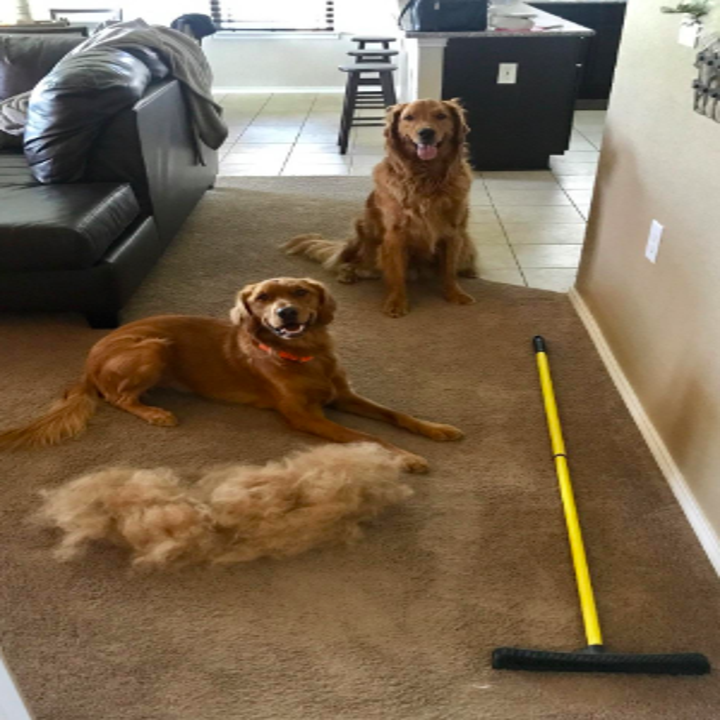 Two golden retrievers next to the broom and a pile of hair almost as big as one of the dogs