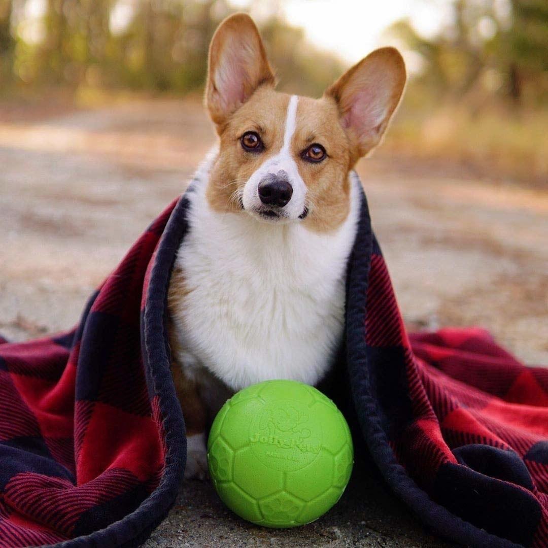 A corgi under a blanket with the unburstable ball