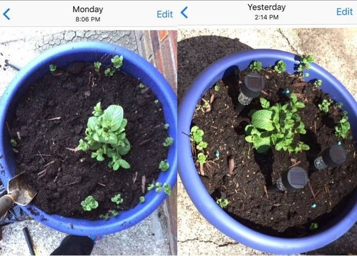 reviewer photo showing their plants growing stronger after using the Miracle Gro sticks
