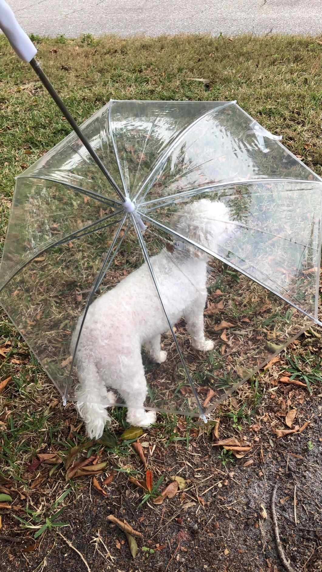 A reviewer's dog under the transparent leash umbrella