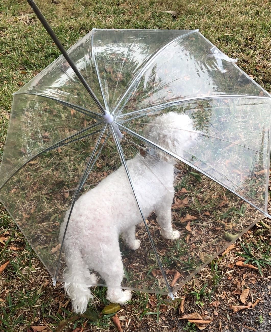 A reviewer's dog under the transparent leash umbrella