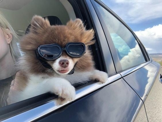Reviewer's dog wearing the goggles while leaning out the car window