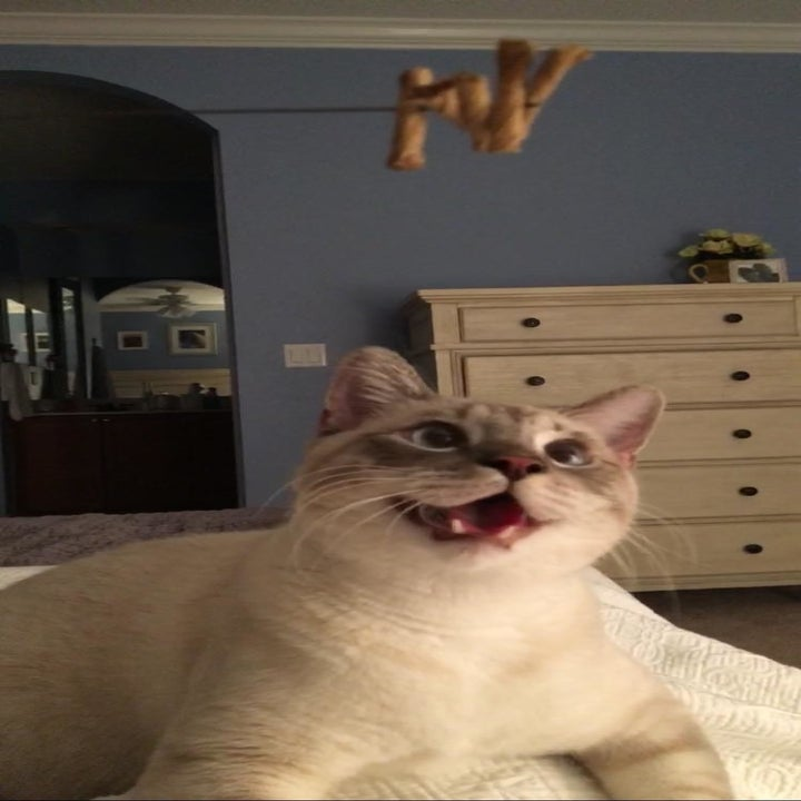 Cat chasing after the stick toy