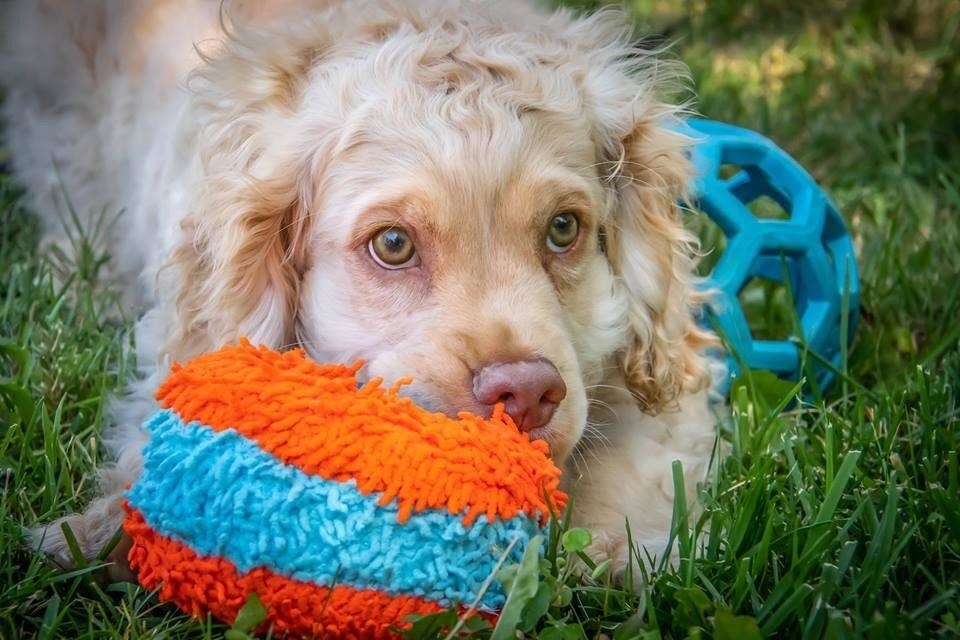 Dog sitting with fuzzy roller toy in blue and orange