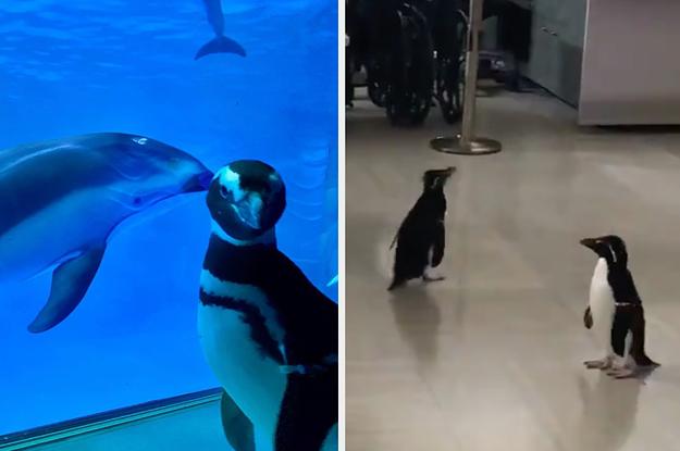 Pinguine durften in einem Aquarium herumwandern, nachdem es für Menschen geschlossen wurde