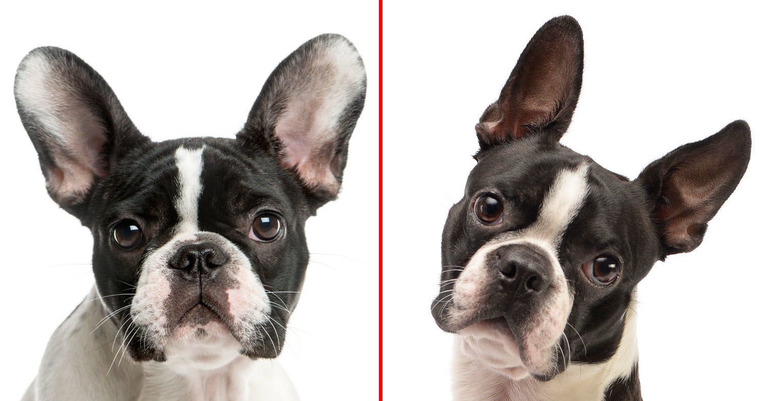 Most People Can't Tell These Dog Breeds Apart — Can You?