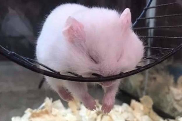 K.O. von der Welt da draußen? – Hier sind 23 Hamster, die erschöpft eingeschlafen sind