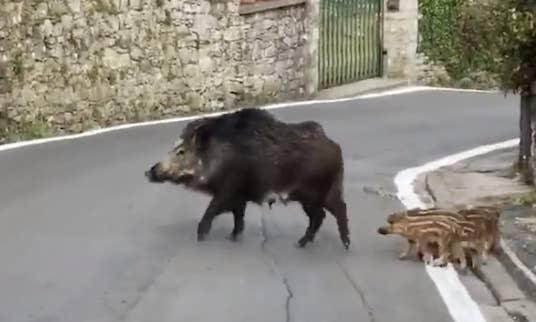 A boar on a street
