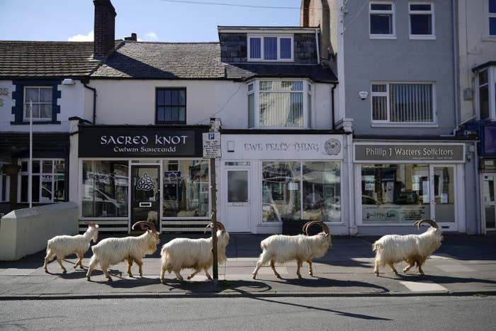 Goats Move Into Welsh Town Empty Due To Coronavirus